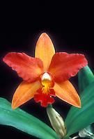 Splash Petal Cattleya Orchid: Thwaitesara aka Potinara Perestroika.