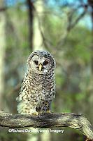 01130-00306 Barred Owl (Strix varia) juvenal    IL