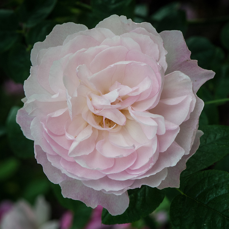 Rosa Gentle Hermione ('AusRumba'), late June. A repeat-flowering, strongly scented, pink shrub rose. From David Austin, 2005, named after the wife of Leontes, the King of Sicilia and mother of Perdita in Shakespeare's 'The Winter's Tale'.