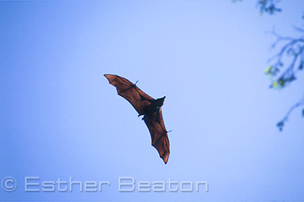 Grey-headed flying fox colony (Pteropus poliocephalus) in flight. Kyogle, New South Wales