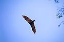 Grey-headed flying fox colony (Pteropus poliocephalus) in flight. Kyogle, New South Wales