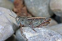 Italienische Schönschrecke, Calliptamus italicus, Calliptenus cerisanus, Italian locust