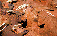 Pacific walruses, Odobenus rosmarus divergens, lying tightly squeezed, Bering Sea, Alaska, USA, Pacific Ocean