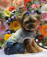 A miniature Terrier called Plum poses in a jeans and T-shirt for a photo-shoot at the Osaka Pet Expo and fashion show, Osaka., Japan.<br /> <br /> Photo by Richard Jones