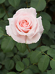 Anna Pavlova Rose flower, Rosa hybrid tea