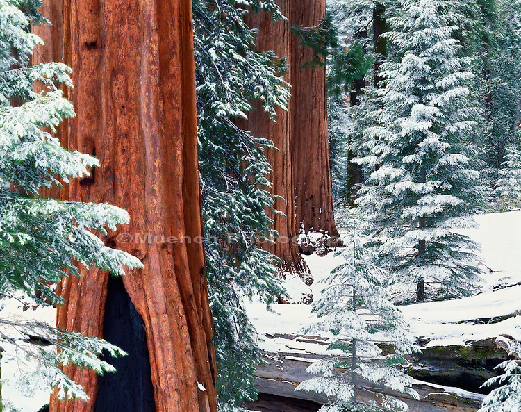General Grant Grove, Sequoia - Kings Canyon National Park