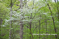 63808-03103 Dogwood Tree (Cornus florida) in bloom Marion Co. IL