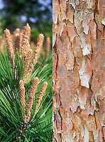 Pinus densiflora in two stages, new growth and ornamental tree trunk bark