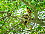 Robin with nest in July.