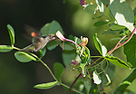 Anna's hummingbird, Calypte anna, at honeysuckle flowers, Lonicera sp. Santa Cruz Mountains, California