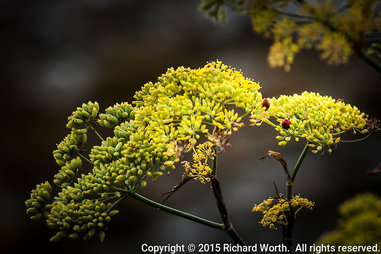 """Ladybug, Ladybug, Fly away home.""  Two ladybugs explore the yellow flowers of a Sweet Fennel."