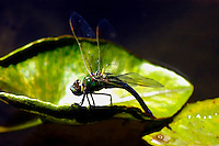 A close-up of a pinao (Hawaiian dragonfly) on a water lily pad in a fountain pond, Hawai'i. With two pairs of wings and a wingspan of up to 7 inches wide, the pinao are one of the largest and fastest flying dragonflies found in the United States.