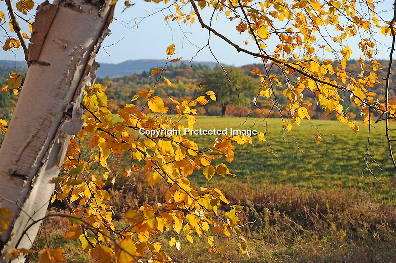 Birch Tree and Foliage during Fall Season in Walpole, New Hampshire USA