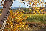 Birch Tree and Foliage during Fall Season in Walpole, New Hampshire USA