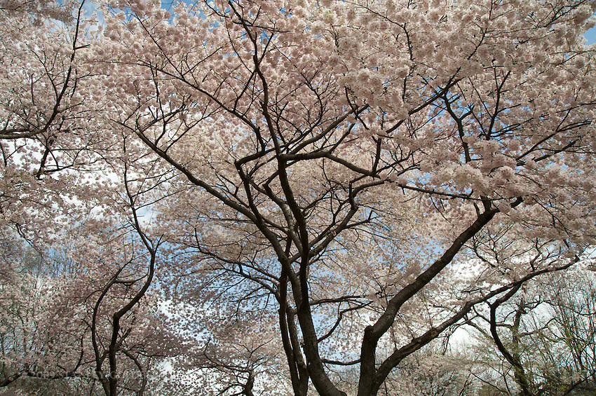 Cherry Blossoms in Spring, Central Park