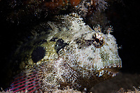 A large jewelled blenny (Salarias Fasciatus) off of Palau, Micronesia, Pacific Ocean