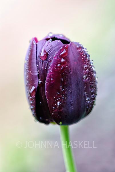 Queen of the Night tulip in Rain.