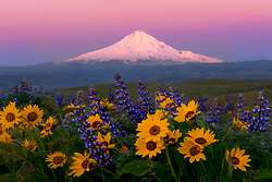 Early morning alpenglow on Mt. Hood, photographed from within a patch of balsamroot and lupine in Oregon's Columbia Hills.<br />