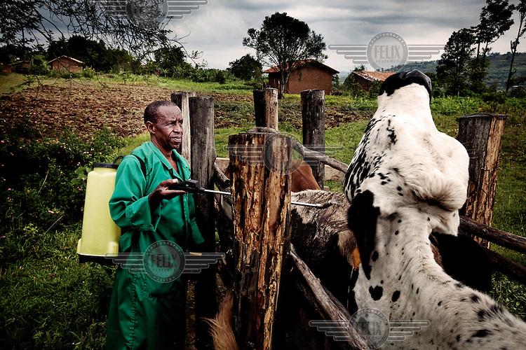 A man sprays cattle against ticks.