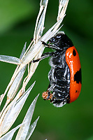 Ameisen-Sackkäfer, Ameisen-Blattkäfer, Ameisensackkäfer, Ameisenblattkäfer, Sackkäfer, Sackblattkäfer, Clytra laeviuscula, Willow clytra, ant bag beetle, Le Clytre des saules