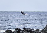 Humpback whales were playing off shore all during our hike to Kaena Point - on the North Shore of Oahu.