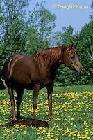 SH06-025z  Arabian Horse - Mare