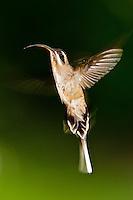 Long-billed Hermit, Belize