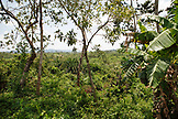 BELIZE, Punta Gorda, Village of San Pedro Colombia, a view of the jungle at Agouti Cacao Farm
