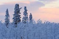 Deep frozen boreral landskape, taiga forest in -39 degrees C, Jukkasjärvi, Lapland, Laponia, Norrbotten county, Sweden