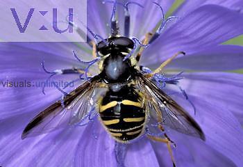 Syrphid Fly ,Sericomyia,, Syrphidae, North America.