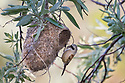 Penduline Tit (Remiz pendulinus) constructing nest. Danube Delta, Romania. May.