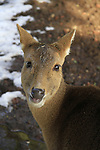 Golan Heights, a young deer in Odem forest