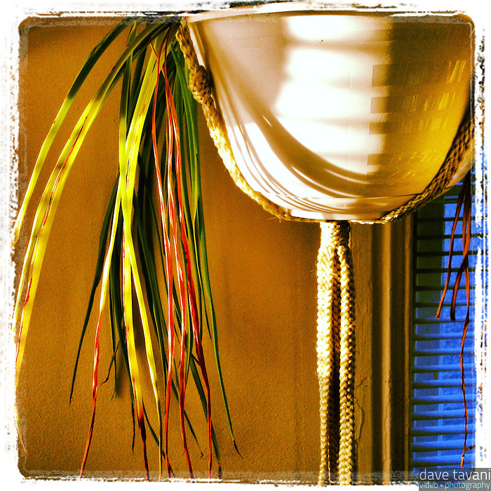 Sunlight streams through the back window in our upstairs hallway to brighten up the spider plant on November 30, 2012.