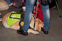 A mustard Labrdor service dog having a rest at the international dog show in prague, in may 2014.