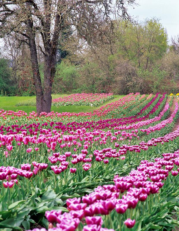 Tulip rows at Greengable Farms. Oregon.
