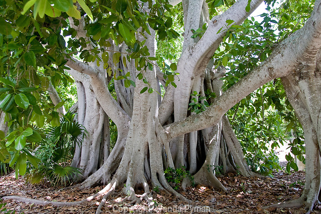The banyan tree is characterized by its prop roots and also has a strangling growth habit.