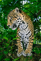 jaguar, Panthera onca (c) Belize, Caribbean, Atlantic, Central America, Caribbean, Atlantic