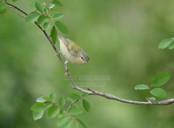 Tennessee Warbler (Vermivora peregrina), adult perched, Hill Country, Texas, USA