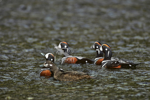 Harlequin duck pair with three bachelor males.  The paired male is warning, threatening the single males with rapid head bobbing.  If not heeded, a chase is imminent.  Bonded female also participates in chasing off single males.