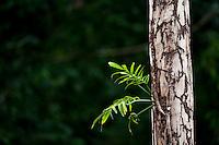 Parauapebas_PA, Brasil...Vegetacao da floresta Nacional dos Carajas, Para. Na foto detalhe do tronco de uma arvore. . .Carajas National Forest Vegetation , Para. In the photo, detail of the trunk of a tree...Foto: JOAO MARCOS ROSA / NITRO..