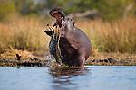 Botswana, Moremi Game Reserve, Okavango Delta, Hippopotamus (Hippopotamus amphibius) feeding on water plants