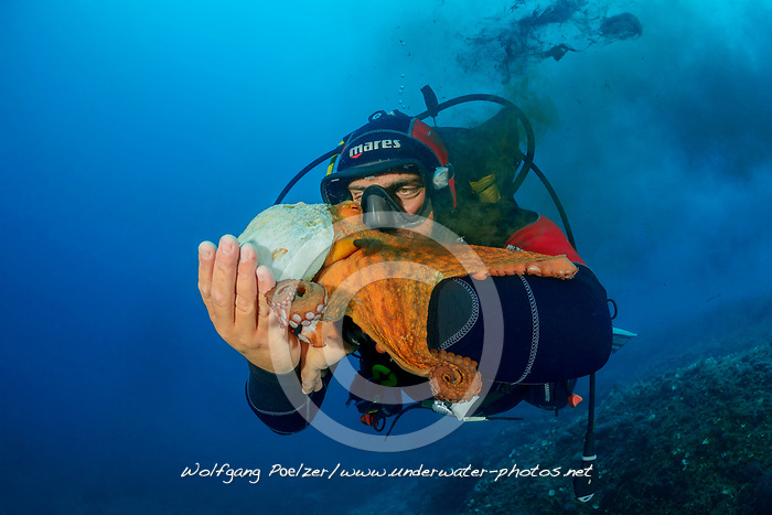 Common octopus, Gemeiner Krake mit Tinte und Taucher, Common Octopus  with Sepia Ink and scuba diver, Adria, Adriatisches Meer, Mittelmeer, Kornaten, Dalmatien, Kroatien, Adriatic Sea, Mediterranean Sea, Kornati, Dalmatia, Croatia, MR YES