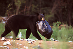 Black bear (Ursus americanus) - holding rubbish bag in mouth, running off with rubbish bag, trash, scavenging