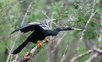 Anhinga; Anhinga anhinga; adult male;  FL, Marion Co., Silver River