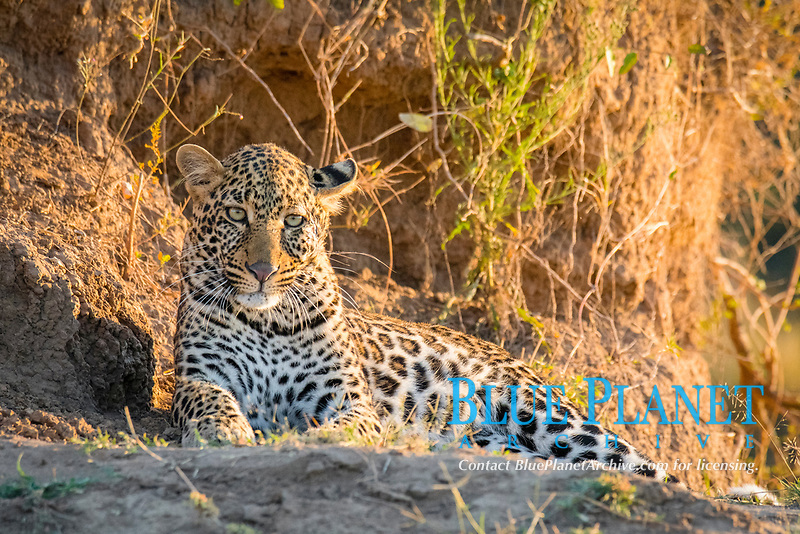 African leopard, Panthera pardus pardus, resting, Masai Mara, Kenya, Africa