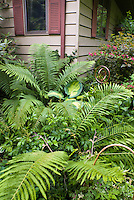 Hosta Great Expectations, Giant fern Matteuccia struthiopteris (Ostrich Fern), Ampelopsis, house, Weigela in bloom, Physocarpus, Astilbe, shade garden view
