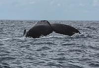 Humpback Whales<br /> Southwest St. Thomas<br /> US Virgin Islands