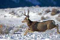 Mule Deer buck running in the snow, Grand Teton Park, Jackson Hole, Wyoming
