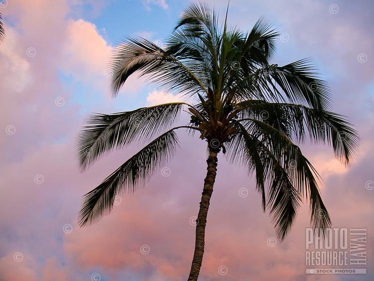 A single palm tree at sunset.
