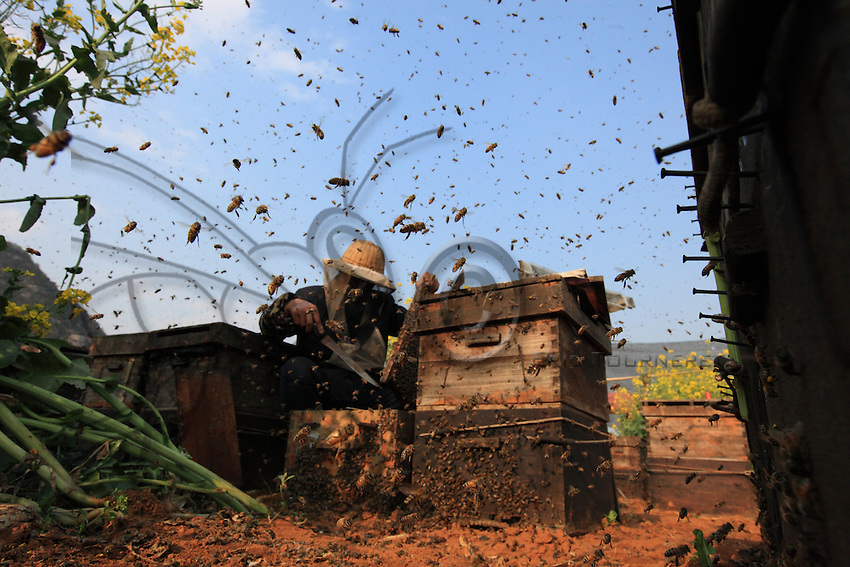 Thousands of bees fly in all directions. In the 1990s, Chinese beekeepers abandoned the Chinese Cerana bees to import European bees of the Italian species for their exceptional yields and their gentleness.